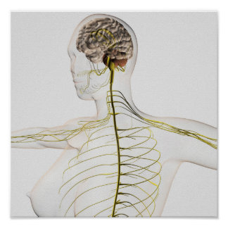 Medical Illustration Of The Human Nervous System Poster