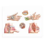 Medical Illustration Showing Carpal Tunnel Postcard