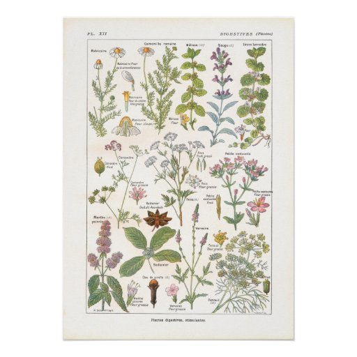 Medicinal Plants Digestive Stimulants in French Poster