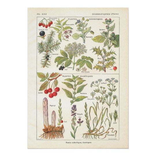 Medicinal Plants Herbs Diuretics in French Poster