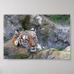 Meditating Tiger Print