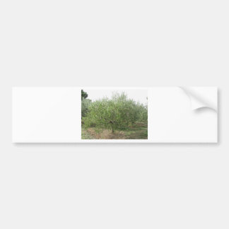 Mediterranean olive tree in Tuscany, Italy Bumper Sticker