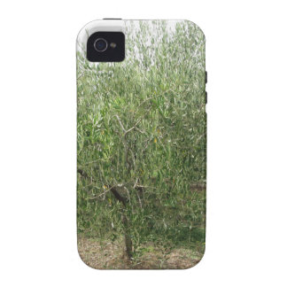 Mediterranean olive tree in Tuscany, Italy iPhone 4 Cases