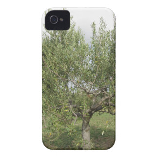 Mediterranean olive tree in Tuscany, Italy iPhone 4 Covers