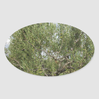 Mediterranean olive tree in Tuscany, Italy Oval Sticker