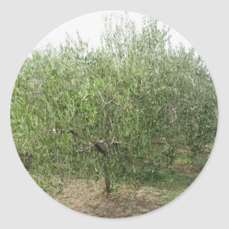Mediterranean olive tree in Tuscany, Italy Round Sticker