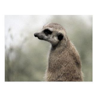 Meerkat (4703) - Postcard