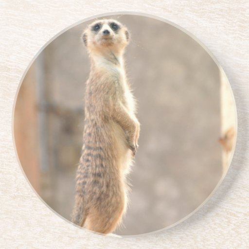 Meerkat at Attention Coasters
