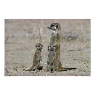 Meerkat Baby Sitter And Pups ( Suricata Suricata ) Poster