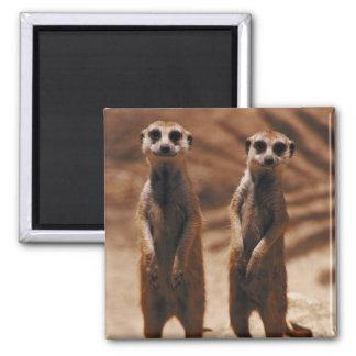 Meerkat Duo Square Magnet
