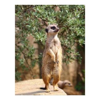"""Meerkat 8.5"""" X 11"""" Flyer"""