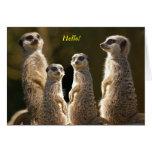 Meerkat group Hello!
