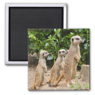 Meerkat magnet2 square magnet
