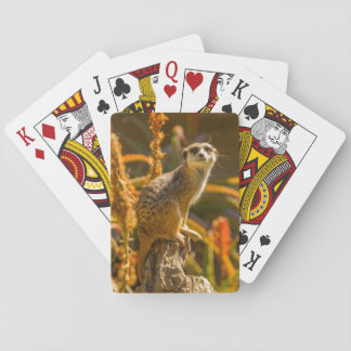 Meerkat on stump playing cards