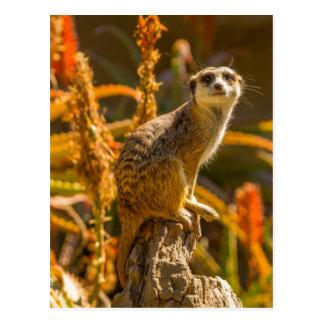 Meerkat on stump postcard