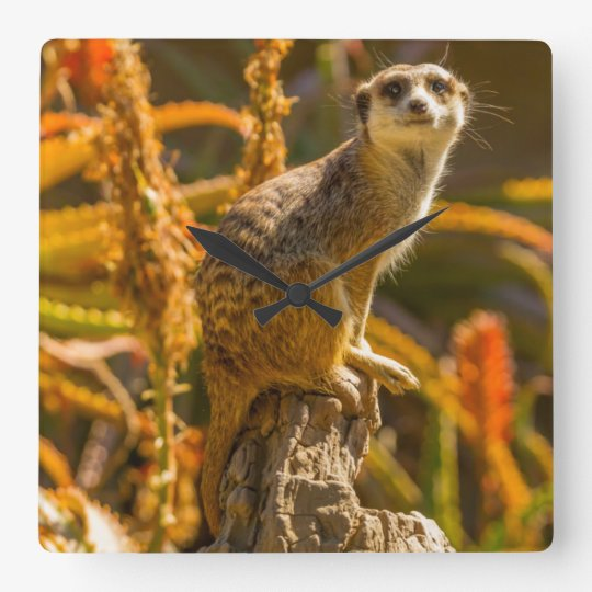 Meerkat on stump square wall clock