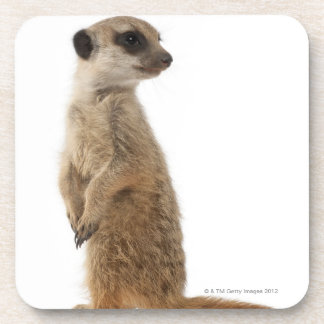 Meerkat or Suricate - Suricata suricatta Coaster