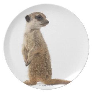Meerkat or Suricate - Suricata suricatta Plate