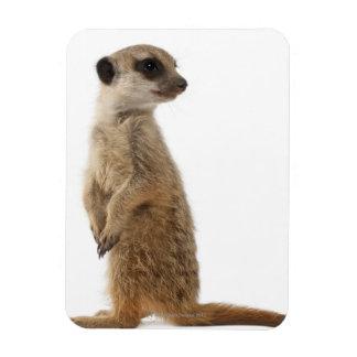 Meerkat or Suricate - Suricata suricatta Rectangular Photo Magnet