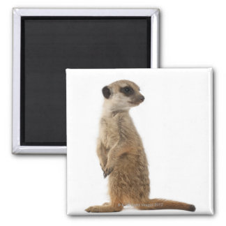 Meerkat or Suricate - Suricata suricatta Square Magnet