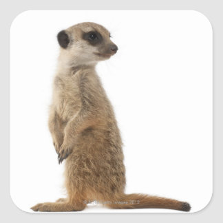 Meerkat or Suricate - Suricata suricatta Square Sticker