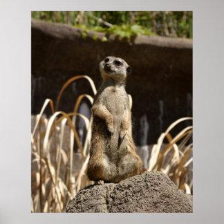 Meerkat Poser Poster