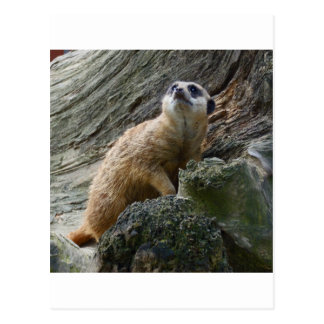 Meerkat Post Cards