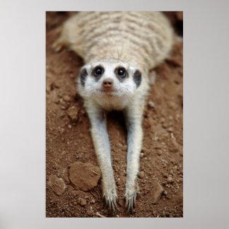 Meerkat (Suricata Suricatta) Cooling Down Poster