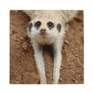 Meerkat (Suricata Suricatta) Cooling Down Wood Coaster