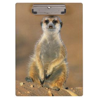 Meerkat (Suricata Suricatta) Sentinel At Den Clipboard