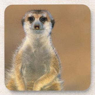 Meerkat (Suricata Suricatta) Sentinel At Den Coaster