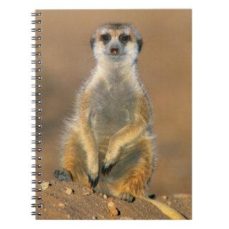 Meerkat (Suricata Suricatta) Sentinel At Den Notebook