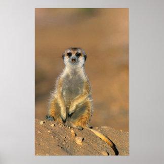 Meerkat (Suricata Suricatta) Sentinel At Den Poster