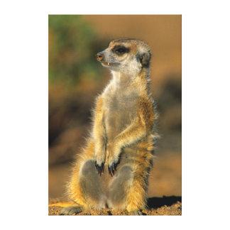 Meerkat (Suricata Suricatta) Sentinel Canvas Print