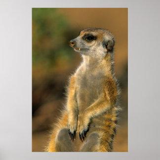 Meerkat (Suricata Suricatta) Sentinel Poster