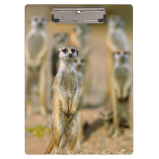 Meerkat (Suricata Suricatta) Sentinels, Karas 2 Clipboard
