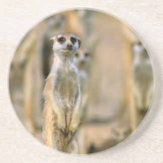 Meerkat (Suricata Suricatta) Sentinels, Karas 2 Coaster