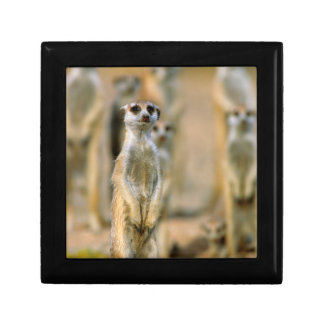 Meerkat (Suricata Suricatta) Sentinels, Karas 2 Gift Box