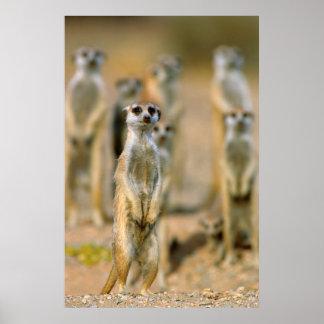 Meerkat (Suricata Suricatta) Sentinels, Karas 2 Poster