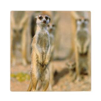 Meerkat (Suricata Suricatta) Sentinels, Karas 2 Wood Coaster