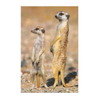 Meerkat Wrapped Canvas Prints | Zazzle.co.uk