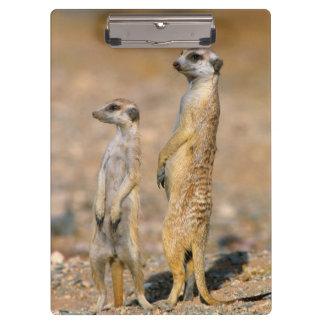 Meerkat (Suricata Suricatta) Sentinels, Karas Clipboard