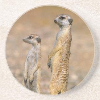 Meerkat (Suricata Suricatta) Sentinels, Karas Coaster