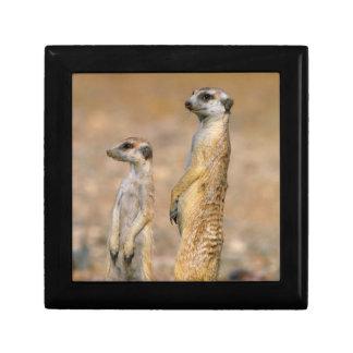 Meerkat (Suricata Suricatta) Sentinels, Karas Gift Box