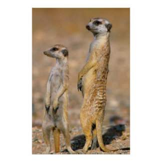 Meerkat (Suricata Suricatta) Sentinels, Karas Poster