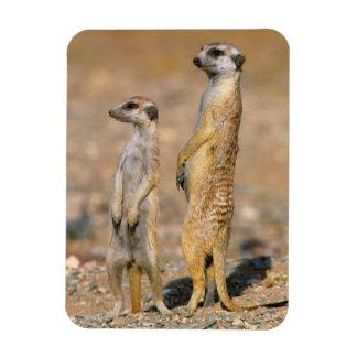 Meerkat (Suricata Suricatta) Sentinels, Karas Rectangular Photo Magnet
