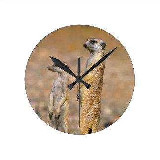 Meerkat (Suricata Suricatta) Sentinels, Karas Round Clock