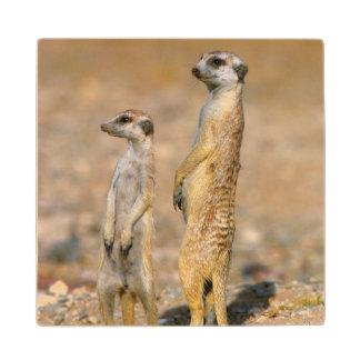 Meerkat (Suricata Suricatta) Sentinels, Karas Wood Coaster