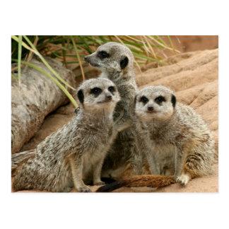 Meerkats on the lookout postcard