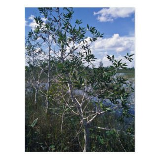 Melaleuca in swamp area postcard